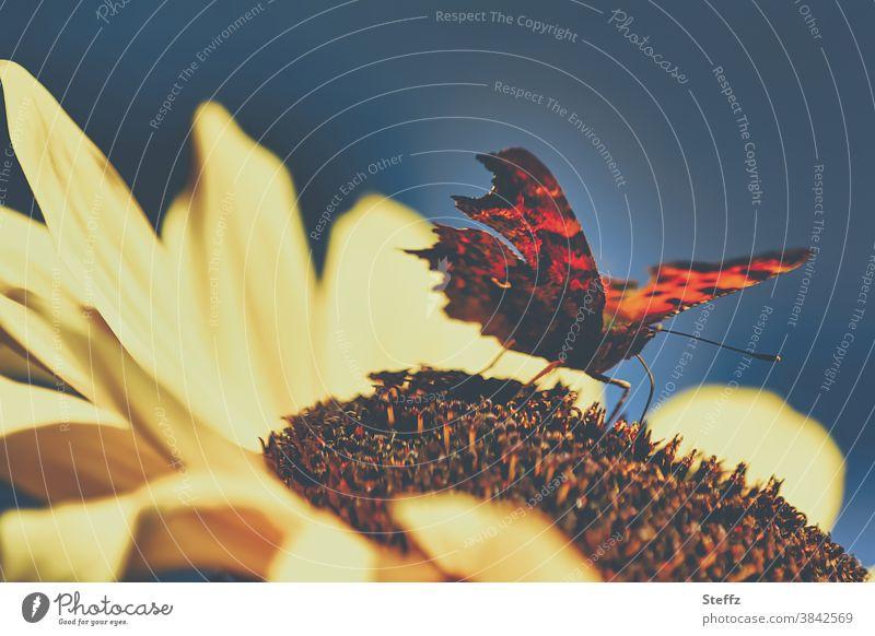 Sommerwärme mit dem C-Falter Polygonia c-album Schmetterling Waldfalter Edelfalter eindrucksvoll besonders beeindruckend Sonnenblume sommerliche Idylle