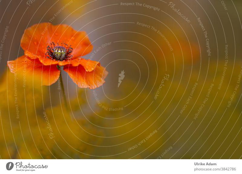 Makro einer zarten roten Mohnblüte mit weichem Hintergrund papaver Mohnblume Schwache Tiefenschärfe Textfreiraum unten Menschenleer Makroaufnahme Detailaufnahme