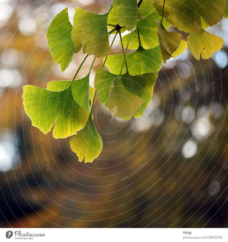 Ginkgo - Herbstfärbung der Blätter an einem Ginkgozweig mit Bokeh Ginkgoblatt Zweig Ginkgo biloba Fächerblatt Heilmittel Medizin TCM