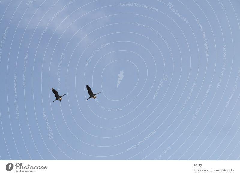 zwei Kraniche fliegen vor blauem Himmel Vogel Zugvogel Wölkchen Herbst Natur Außenaufnahme Farbfoto Wildtier Menschenleer Tier Freiheit Zusammensein Bewegung