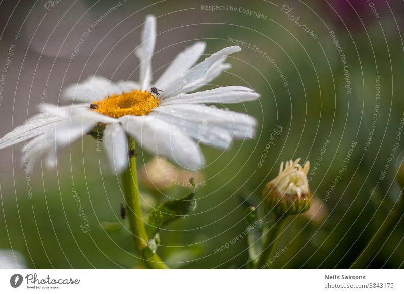 großes weißes Gänseblümchen mit kleinen Insekten darauf und einer kleinen Wucherung Aroma Hintergrund schön Schönheit Käfer Business Schmetterling Kamille Hof