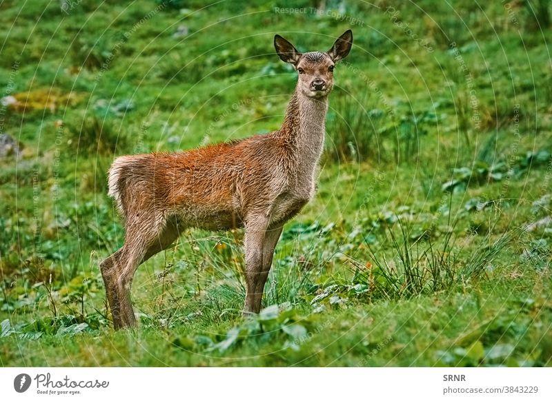 Hirsch auf dem Abhang eines Hügels Tier Artiodaktylus Achse Achse Achsenhirsch Zervidae cheetal chital mit Knackpunkt hohlfüßig mit gespaltenen Hufen Hirsche