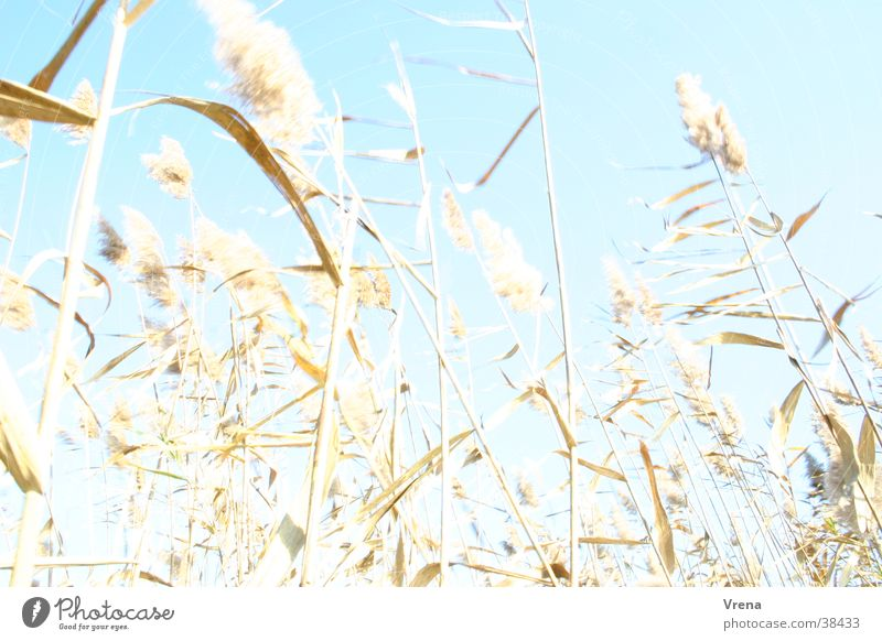 Schilfgras Gras hell Wind Schilfrohr Überbelichtung