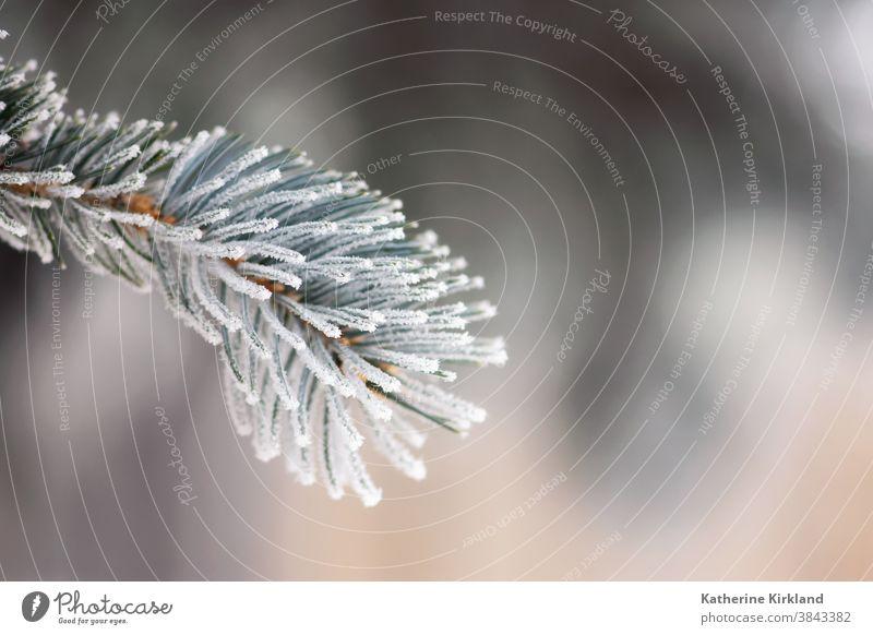 Gefrostete Blautannennadeln aus Fichte Frost Schnee Eis kalt Winter Kiefer Tanne Immergrün weiß blau Saison saisonbedingt Weihnachten Feiertag Nadel Baum Wald