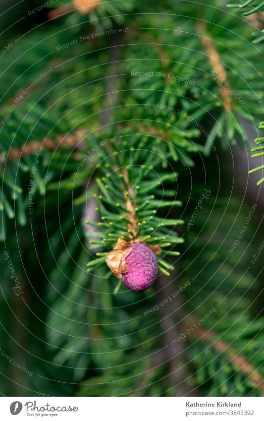 Rosa Kiefernzapfen rosa kalt Winter Fichte Tanne Immergrün rot Saison saisonbedingt Weihnachten Feiertag Nadel Baum Wald Wälder Waldgebiet Schneeflocke Pflanze