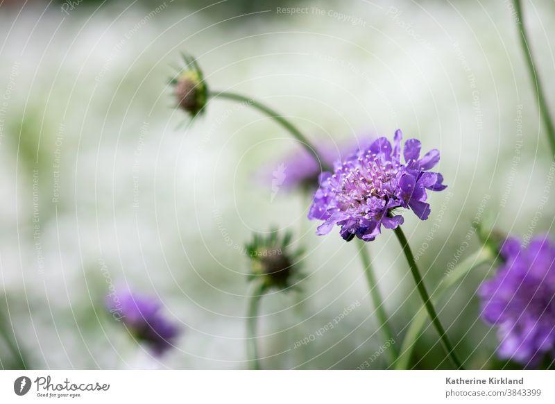 Violette Scabiosa-Blüte purpur Nadelkissen Blume Flora geblümt Frühling Sommer Saison saisonbedingt natürlich Natur Garten Gartenarbeit botanisch Pflanze