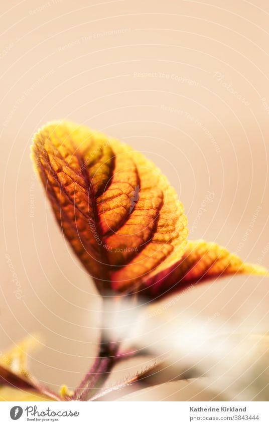 Orange strukturiertes Blatt Blätter orange fallen Herbst saisonbedingt coleus Saison hell Laubwerk gelb vertikal herbstlich Botanik botanisch Nahaufnahme Farbe
