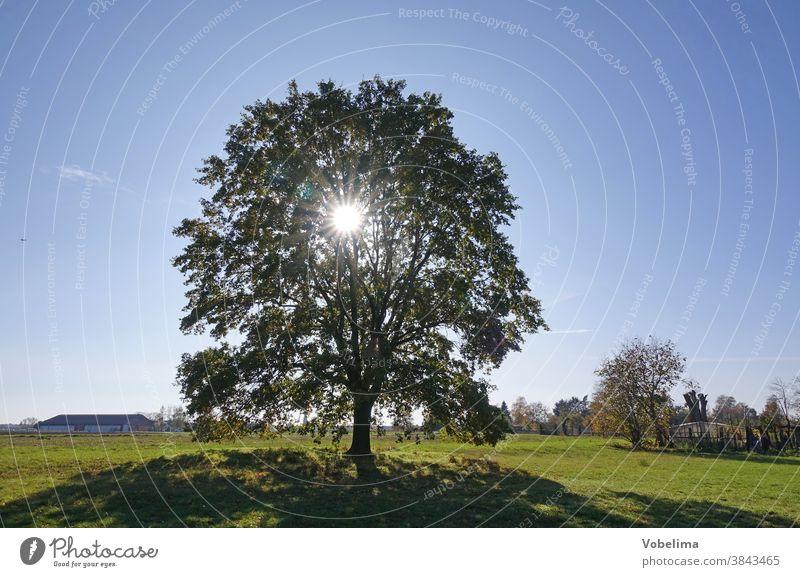 Eiche im Gegenlicht eiche baum sonne gegenlicht wiese roedermark ober-roden hessen deutschland himmel strahlend sonnenstrahl sonnenstrahlen hell oktober braun