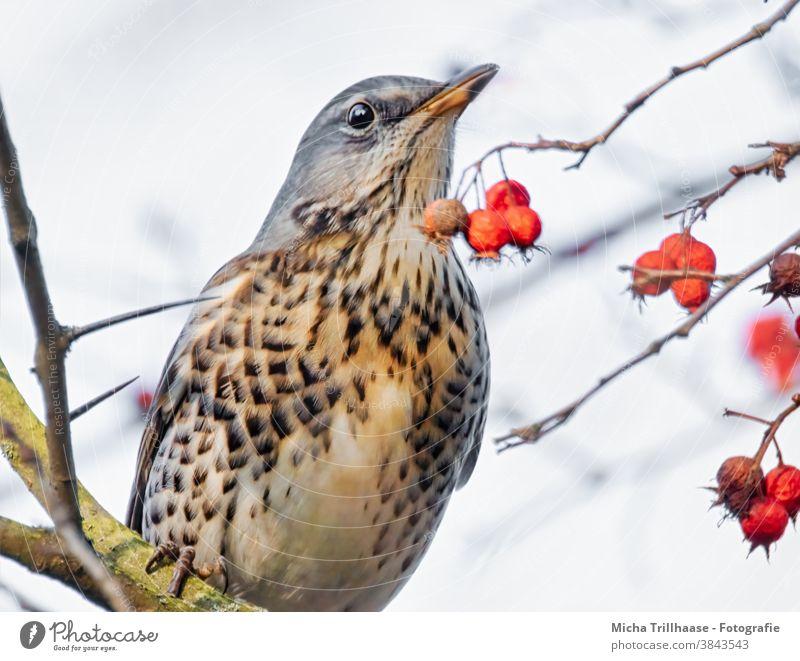 Drossel im Beerenstrauch Wacholderdrossel Turdus pilaris Vogel Tiergesicht Auge Schnabel Gefieder Federn Kopf Flügel Wildtier Natur Baum Zweige u. Äste