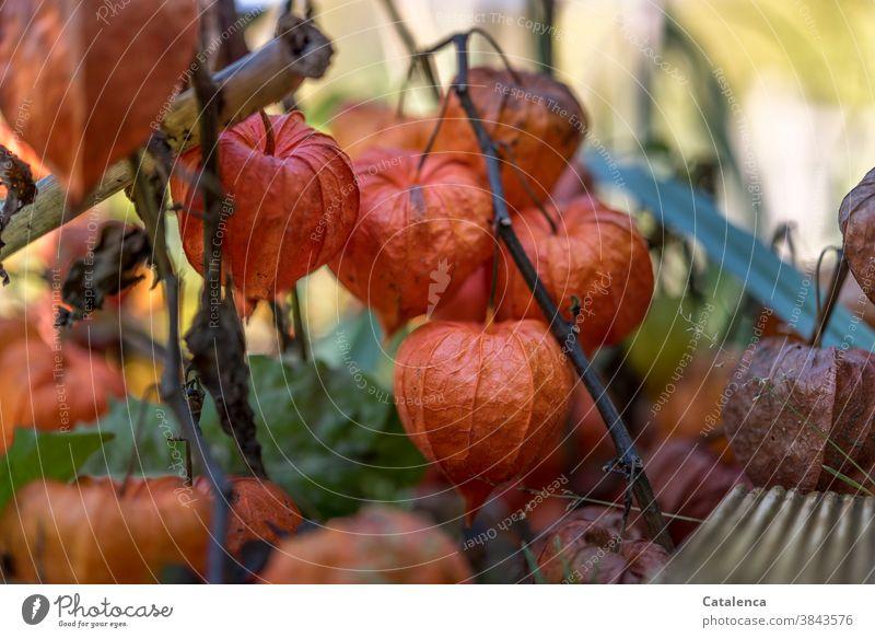 Lampions im November Natur Flora Pflanze Physalis Lampionblume vertrocknen Samen Frucht Garten Herbst Vergänglichkeit Design Orange Grün Braun