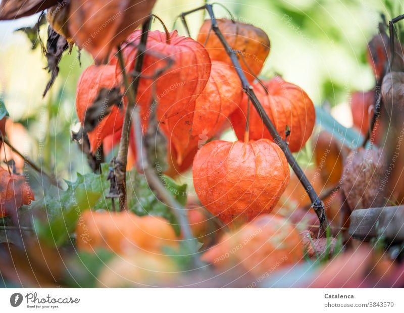 Lampionblume, Physalis alkekengi Flora Natur Pflanze Blüte Sommer Tag Tageslicht Blasenkrschen Nachtschattengewächse Blütenkelch Stängel Garten Orange Grün