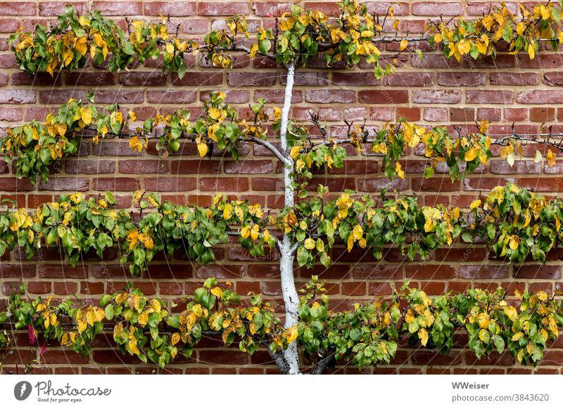 Ein kleines gezähmtes Zierbäumchen, hübsch flach und symmetrisch Garten Baum Park dekorativ Mauer angebunden beschnitten Herbst Pflanze Blätter Stamm