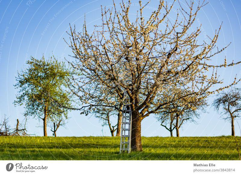 Apfelbaum mit Aluleiter Kirschbaum Pflanze Frühling Natur Landschaft Garten Blüte Menschenleer Ackerland Hintergrund ländliche Szene draußen Sonne Obst