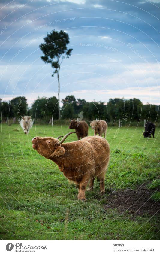 Eine Herde von Highland - Rindern auf einer Weide. extensive Rinderhaltung, Weidehaltung, Freiland Kühe Highlandrinder Biofleisch extensive Landwirtschaft