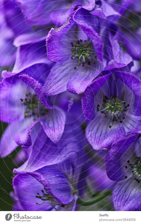 gefährliche Schönheit vom Herbst-Eisenhut Arendsii Aconitum arendsii Stuhrmhut Akonit giftig giftige Blume giftige Pflanze giftige Schönheit Herbstblume