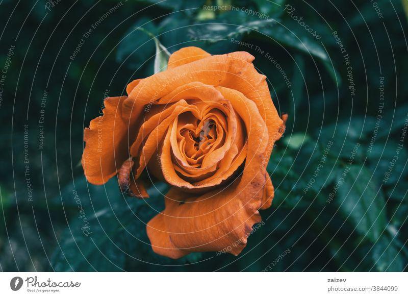 Makro einer offenen orangenen Rose in der Bildmitte Roséwein Rosaceae ornamental Gärten Schnittblumen wirtschaftlich Duftwasser essbar Vitamin Blüte Blume