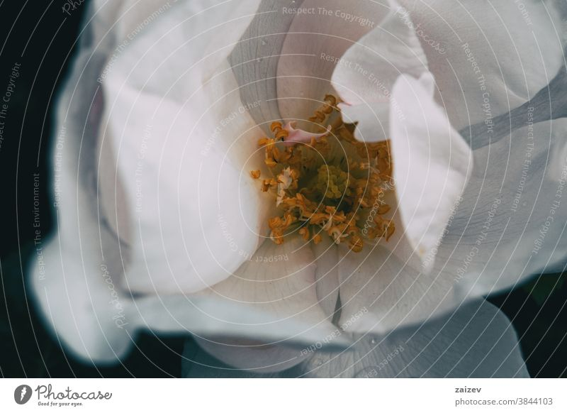 Makro der gelben Staubblätter innerhalb einer weißen Rosenblüte Roséwein Rosaceae ornamental Gärten Schnittblumen wirtschaftlich Duftwasser essbar Vitamin Blume