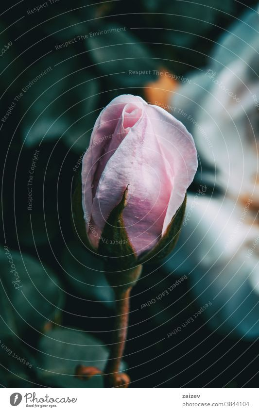Nahaufnahme einer geschlossenen rosa Rose in der Wildnis Roséwein Rosaceae ornamental Gärten Schnittblumen wirtschaftlich Duftwasser essbar Vitamin Blume Blüte