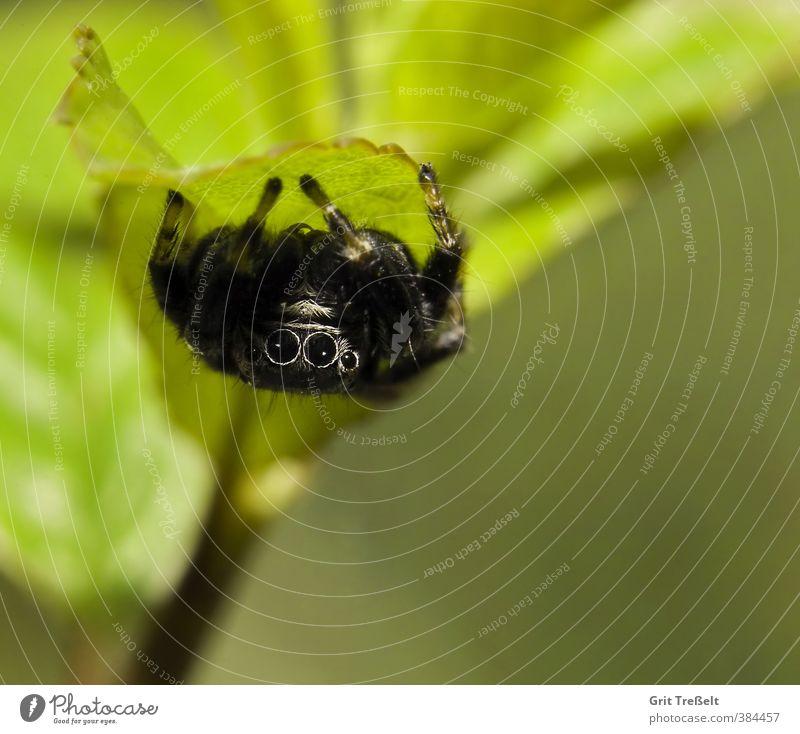 Schwarze Springspinne Tier Nutztier Wildtier Spinne Tiergesicht 1 klein listig natürlich Neugier Geschwindigkeit schwarz Farbfoto Nahaufnahme Makroaufnahme Tag