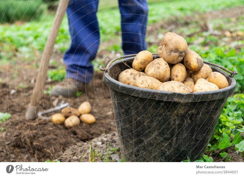 Container mit frisch geernteten Kartoffeln. Landwirtschaftliches Konzept. Ackerbau Mann Ernte abholen herausnehmen Korb ländlich Bauernhof Knolle Lebensmittel