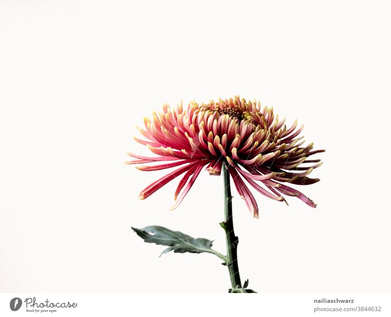 Chrysantheme Detailaufnahme Farbfoto Romantik rosa schön Pflanze Blüte Herbst weiß Blütenblatt Natur Chrysanthemen-Blüten Blume Schnittblume Studioaufnahme