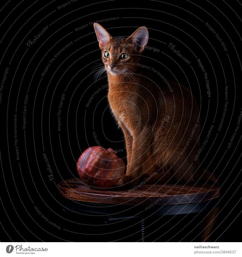 Stillleben mit der Katze Granatapfel Obst niedlich Hauskatze Tier Niedlichkeit Tierporträt Studioaufnahme Studiobeleuchtung rothaarig Blick nach vorn Erholung