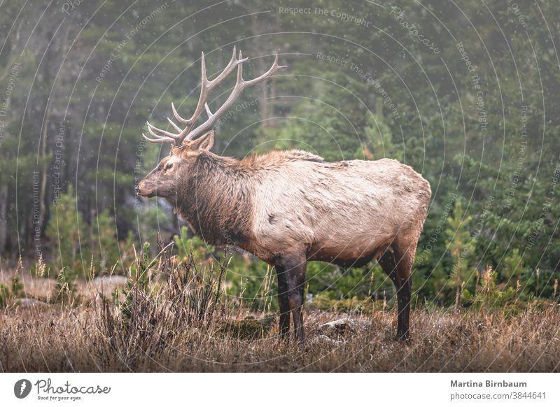 Porträt eines großen Elchbullen (Cervus canadensis) in den Rocky Mountains mit dem ersten Schneefall der Saison Herbst Winter männlich Wapiti-Hirsche jagen