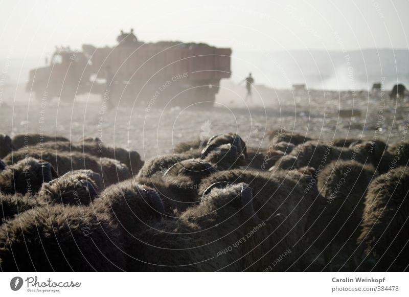 Müll. Sommer Sonne Umwelt Wärme Sand Klima Feuer Afrika Schaf Lastwagen Abgas Ekel Umweltverschmutzung Herde Gift