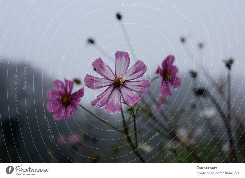 Rosa Blüte der cosmea bipinnata (Schmuckkörbchen) im Gegenlicht mit Regentropfen vor grauem Himmel rosa Cosmea Schmuckblume Blume verblüht Pflanze blühen