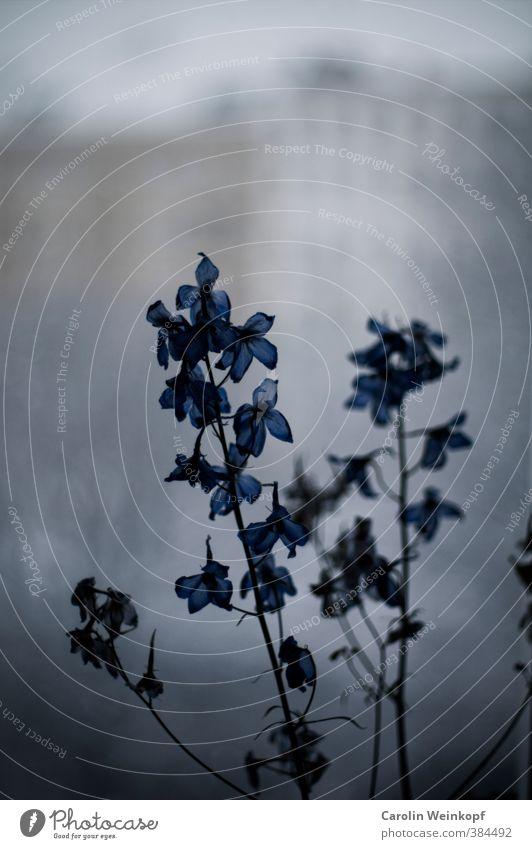 Großstadtgewächs. Pflanze Blatt Blüte Stadt Altstadt Haus Fassade Blühend blau grau Traurigkeit trist Fenster Farbfoto Textfreiraum oben Unschärfe
