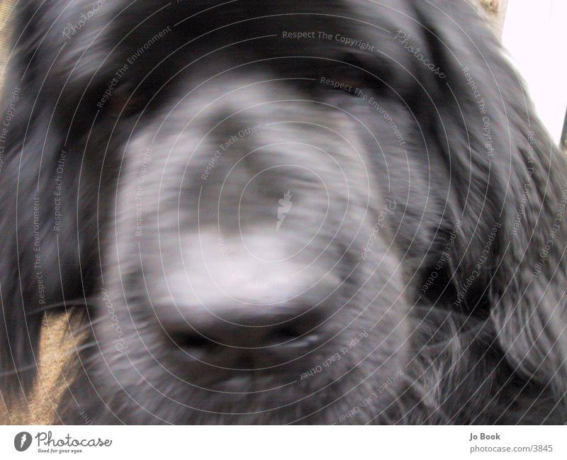 Neufundländer Hund Dog