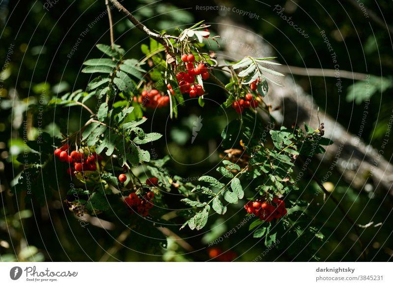 Früchte der Eberesche an einem Baum und mit Sonnenlicht Sommer Sommer Frucht Natur Außenaufnahme Pflanze Farbfoto grün Menschenleer Garten Sorbus