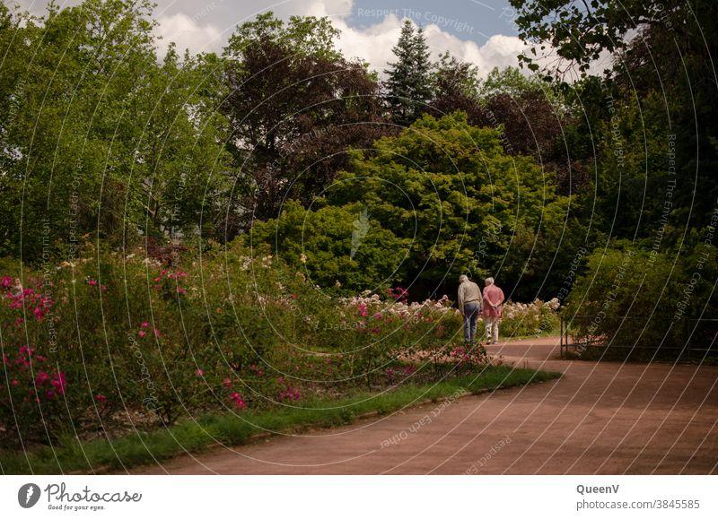Alte Paar bestaunt die Rosen im Garten Rentnerpaar Rente Liebe Zusammenleben Seniorenpflege Stadt Rosengarten rosa Ruhestand Rentenalter Glück Paarhufer