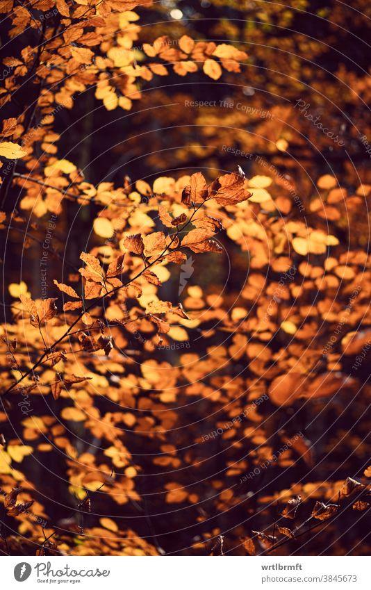 Herbstliche Bäume mit gelben, goldfarbenen Blättern Hintergrund Sonne orange Pflanze braun Garten Wälder ländlich Flora Sonnenuntergang November Sonnenstrahlen
