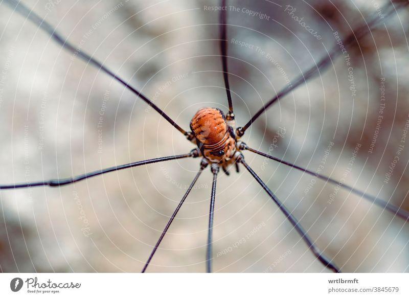 Weberknecht Makroaufnahme Tier Spinnentier schön groß braun abschließen gruselig Detailaufnahme acht Auge Angst Wald Garten Riese haarig Insekt Beine natürlich