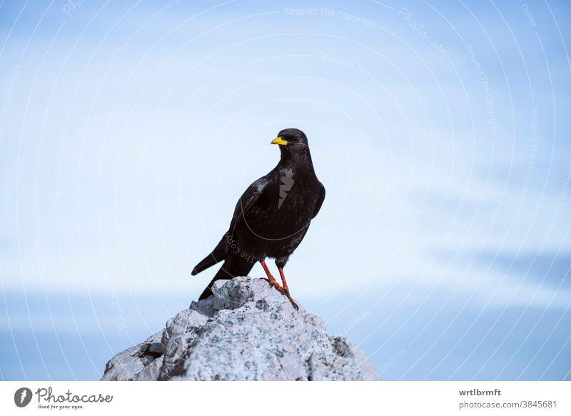 Hochfliegender Vogel auf einem Berggipfel alpin Alpendohle Tier Tiere Hintergrund Schnabel schön Vogelbeobachtung Vögel schwarz Amsel blau chough schließen