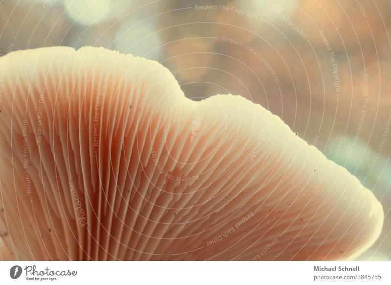 Pilzlamellen Natur Farbfoto Außenaufnahme Herbst Wald Schwache Tiefenschärfe Lamelle Lamellen von unten von unten gesehen von unten nach oben Makroaufnahme
