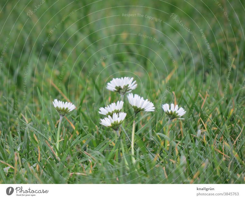 Sechs Gänseblümchen auf der Wiese Natur Bellis perennis Blume Frühling grün weiß Blüte Blühend Pflanze Gras Farbfoto Nahaufnahme Außenaufnahme Makroaufnahme