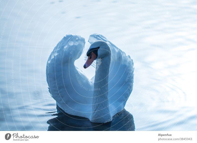 Cygnus olor Schwan Wasser Tier Vogel See weiß Natur Im Wasser treiben elegant Schnabel schön Außenaufnahme Schwimmen & Baden Stolz Hals Wellen Flügel Gegenlicht