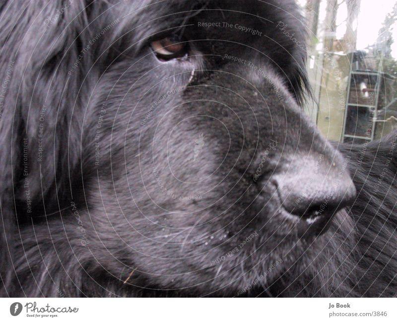 Neufundläner2 Hund Dog Neufundländer