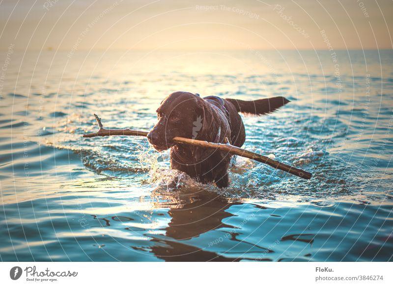 Hund mit Stock im Meer Tier Larbardor Nordsee Wasser Strand Küste Außenaufnahme Farbfoto Ferien & Urlaub & Reisen Himmel Natur Wellen Freiheit Tag