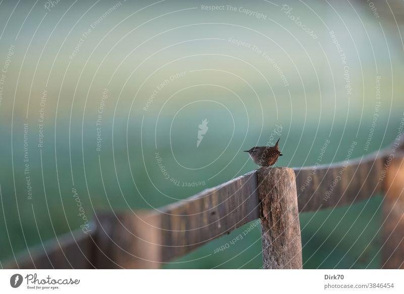 Zaunkönig in seinem Reich - auf dem Zaun Vogel Singvogel Zaunpfahl winzig niedlich klein Tier Außenaufnahme Farbfoto Natur Tag 1 Wildtier Menschenleer