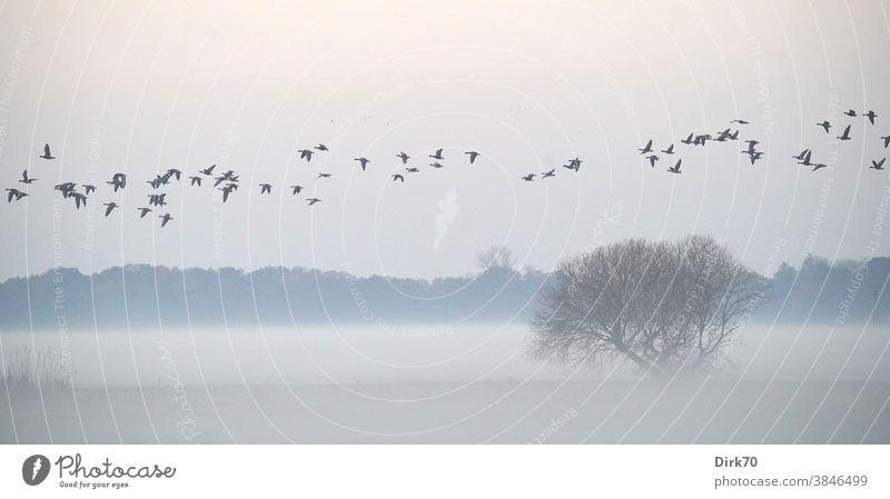 Panorama - Nebellandschaft mit Sträuchern und einem Zug Gänse Gans gänse Zugvogel Vogelschwarm fliegen Himmel Außenaufnahme Wildtier Schwarm Natur Tier Farbfoto