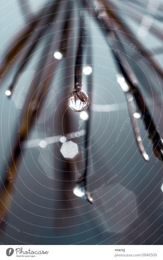 Wassertropfen hängt an der Spitze einer Lärchennadel und spiegelt die anderen Spitzen. Tropfen nass Einsamkeit Enttäuschung Stimmung Traurigkeit Sorge Trauer
