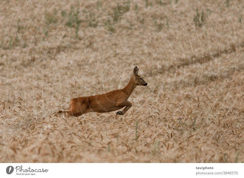 weibliche Rehe, die im Weizenfeld laufen Tier Rogen Frau Säugetier schön Kapreolus Fauna Hirsche Wildnis Landschaft Wiese springen natürlich Hintergrund