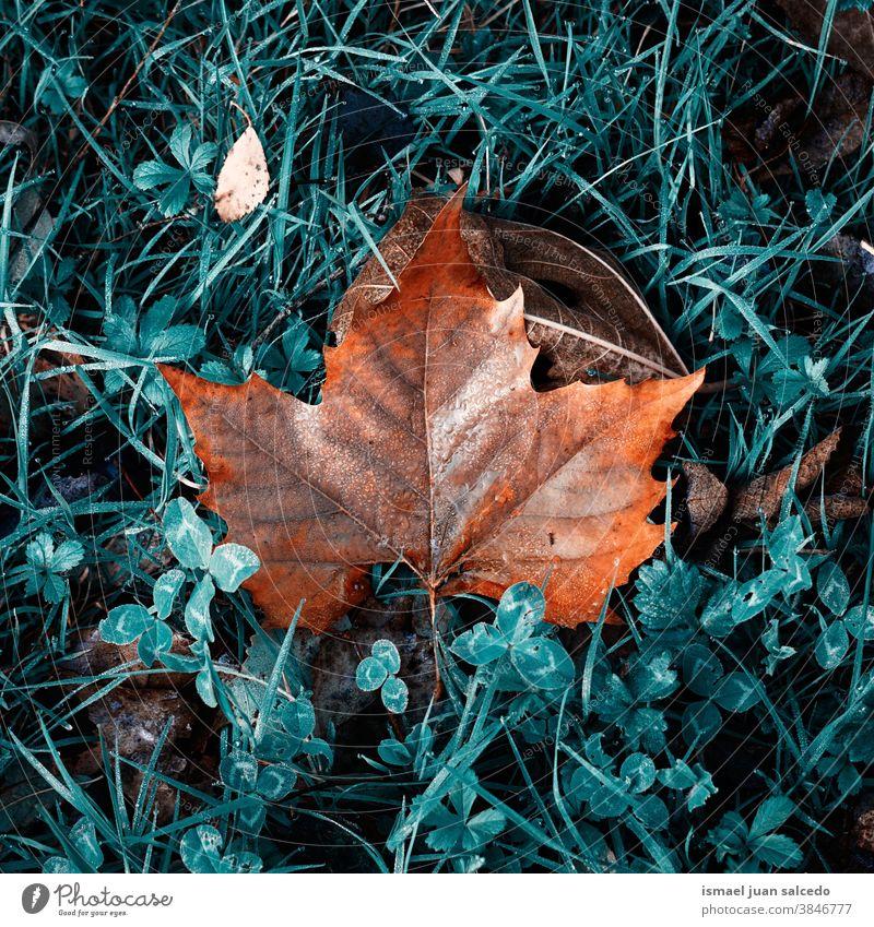 ahornbraunes Blatt auf dem grünen Gras in der Herbstsaison Ahorn trocknen Boden Natur natürlich Laubwerk texturiert im Freien Hintergrund fallen Saison