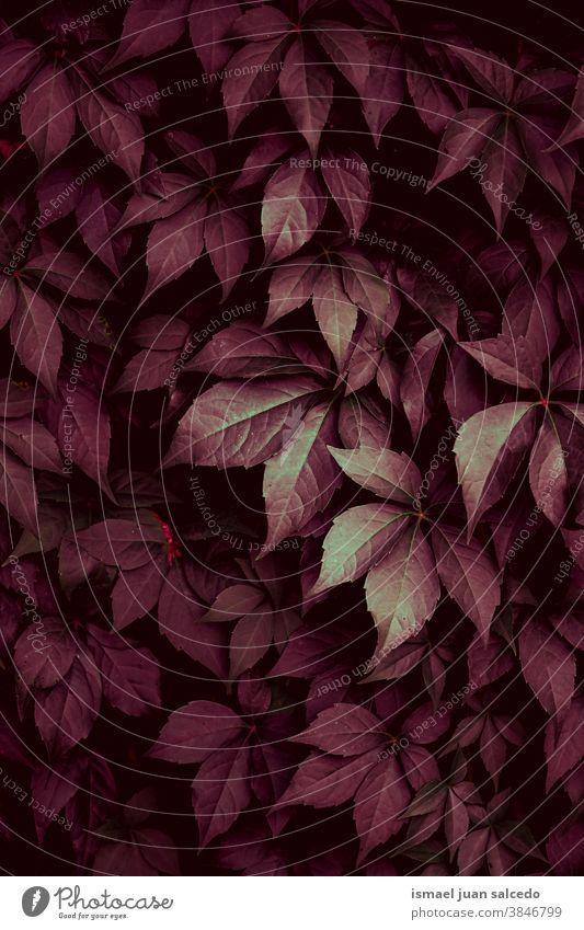 rote Pflanzenblätter in der Natur in der Herbstsaison Blätter Blatt Garten geblümt natürlich Laubwerk dekorativ Dekoration & Verzierung abstrakt texturiert