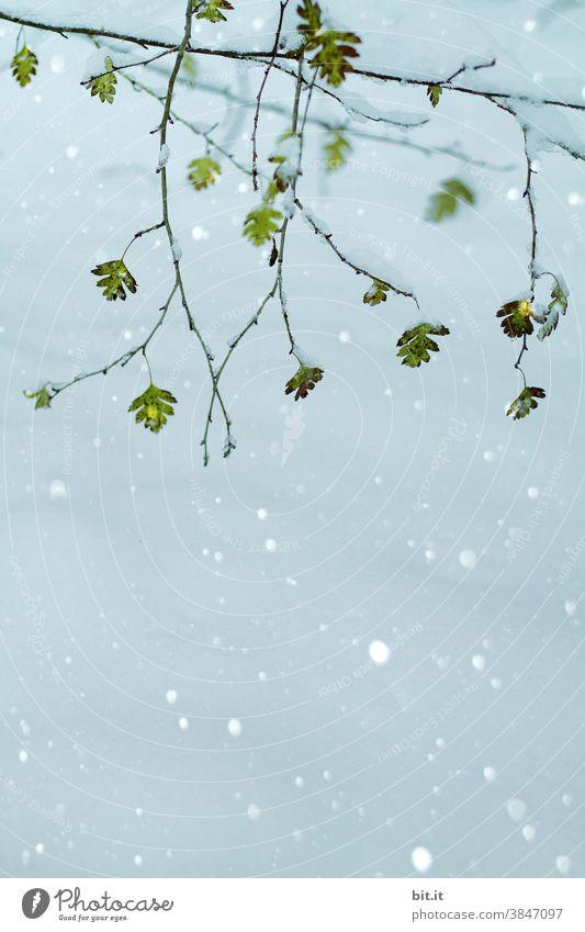 Blätter im Schnee Blätterdach Blatt Blattgrün Äste Zweig Zweige u. Äste Ast Grünpflanze frisch hängen hängend Pflanze Natur Baum Wachstum Umwelt Wald Winter