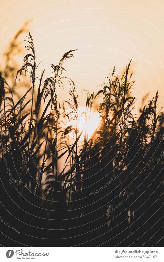 Sonnenaufgang Schilf I Wasser Pflanze Farn Sonnenuntergang Gegenlicht Licht schwarz gelb kontrast natur Außenaufnahme Natur Farbfoto Kontrast Sonnenlicht