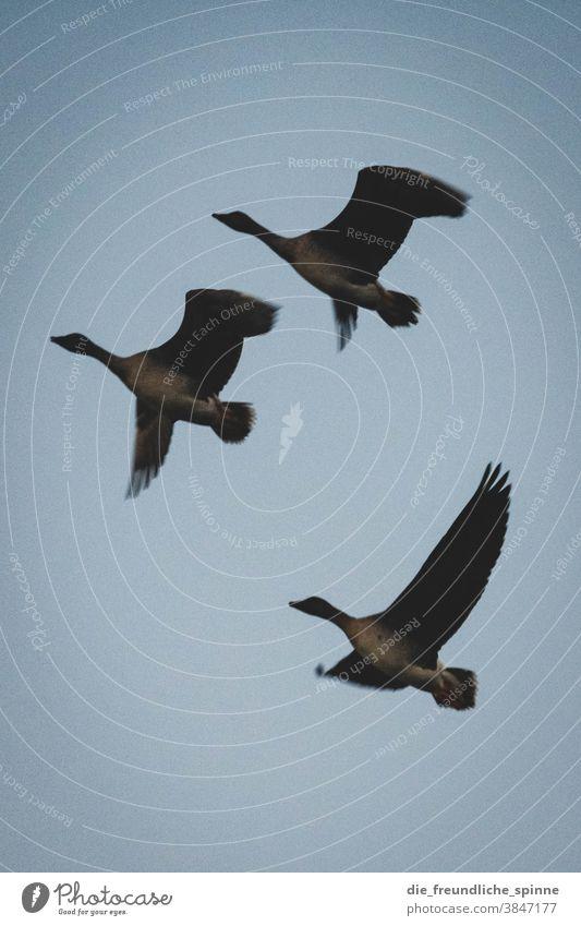 Gänse fliegen in den Winter II Vogel Tier Natur Farbfoto Außenaufnahme blau himmel unten Umwelt Wildtier natürlich flügel Flügel Tierporträt linum Feder